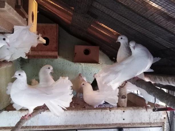 Gołębie pawiki białe