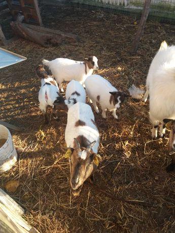 Cabras Anãs c/ 3 meses