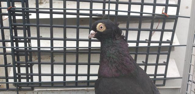 Gołębie gołąb wywrotki wywrotek