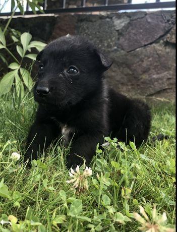 Psy  rasy Karelskie