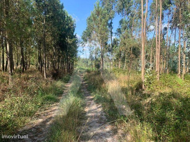 Terreno - Vinha e Pinhal - Covões