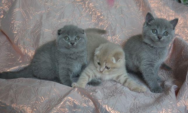 Скотиш фолд котята разного окраса