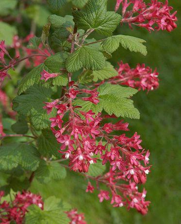 Porzeczka krwista-Czerwone grona kwiatów-żywopłoty