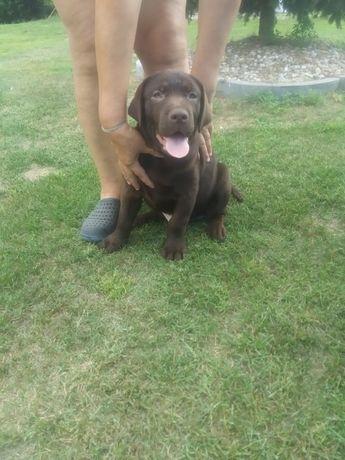 Labrador retriever piesek