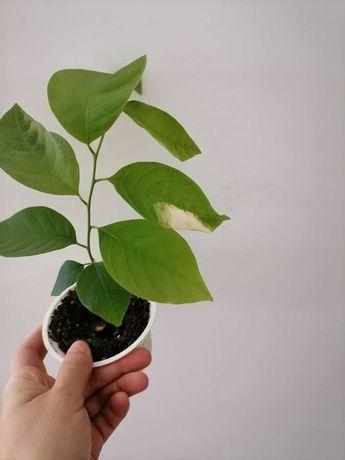Planta de fruta do conde (Anoneira)