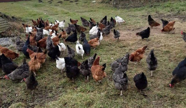 świeże wiejskie jaja z własnego gospodarstwa