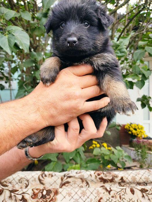 щенки овчарки родились 14 сентября Киев - изображение 1