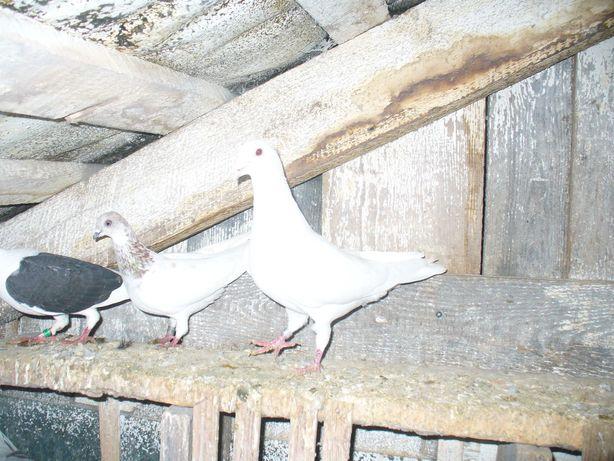 gołębie ozdobne pocztowe