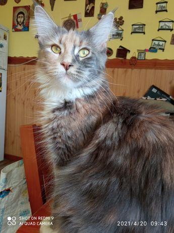 Maine coon kotka może być do hodowli