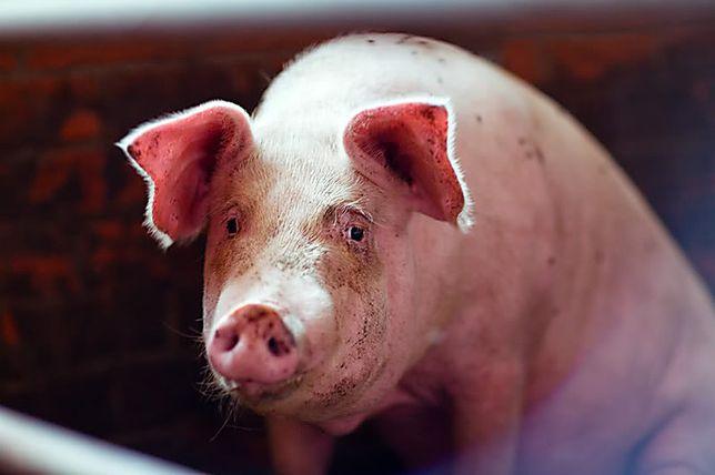 Продам домашних свиней. 10 голов.