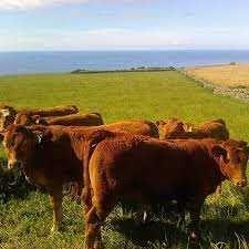 Animais bovinos vitelos