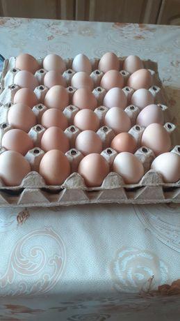 Jajka od młodych kur
