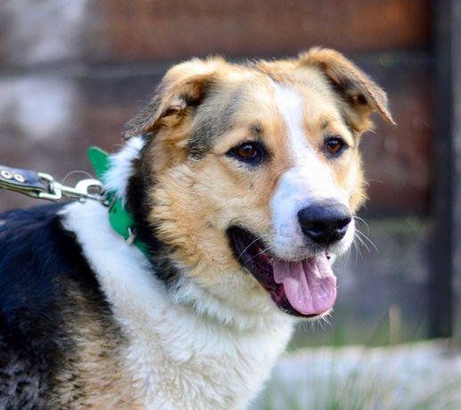 Молодой красивый пес,предрасположен к женшинам-хозяйкам, ПРИЮТ