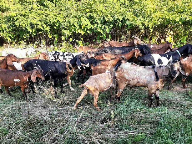 Агло-нубійські кози та козенята