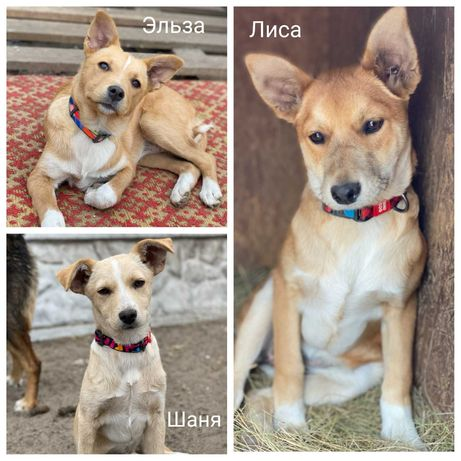 Три щенка девочки ищут дом, Лиса, Шаня, Эльза, до 10кг