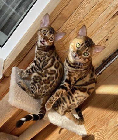 Бенгальские котята , кот