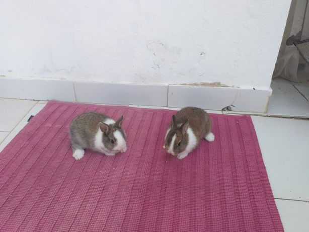 2 coelhos anão em Albufeira