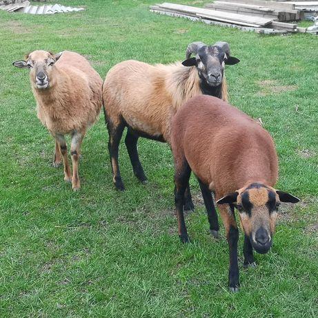 Owca owce kameruńskie baran kosiarki kosiarka