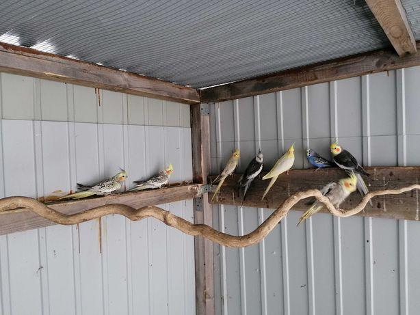 Papugi nimfy 2020r.