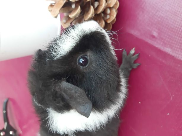 Świnka morska biało czarna- samczyk.