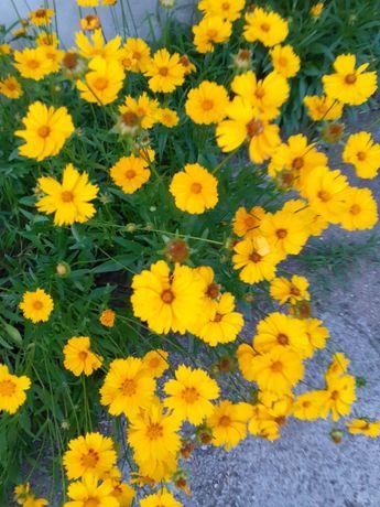 Kwiaty nachyłek żółty
