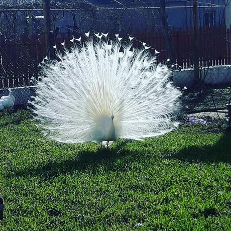 Белый павлин, роскошный белоснежный павлин