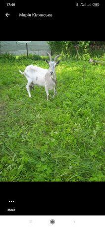 Продам козу звертайтесь за номером