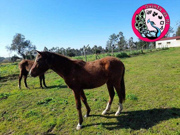 Égua Luso-árabe 2 anos