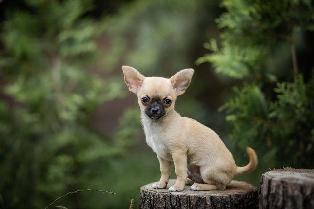 Zarezerwowany Chihuahua Krótkowłosy ZKwP FCI