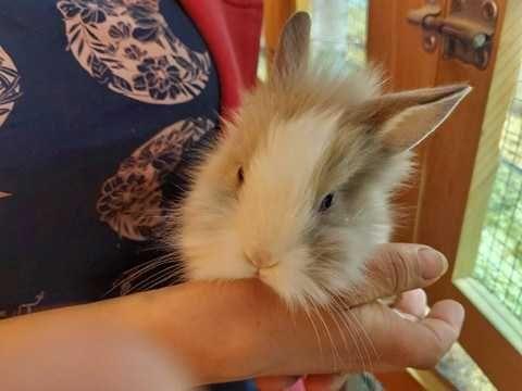 Piękne młodziutkie króliki miniaturki i inne
