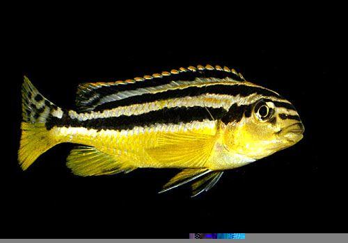Rybki pyszczak Złocisty - Melanochromis Auratus