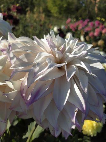 Георгины крупноцветковые, диаметр цветка 25+