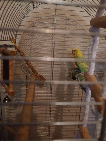 Papuga falista z klatką