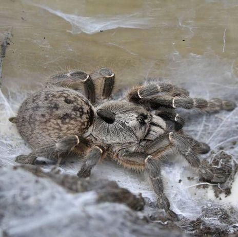 Самочка молодая паука птицееда Ceratogyrus darlingi с доставкой