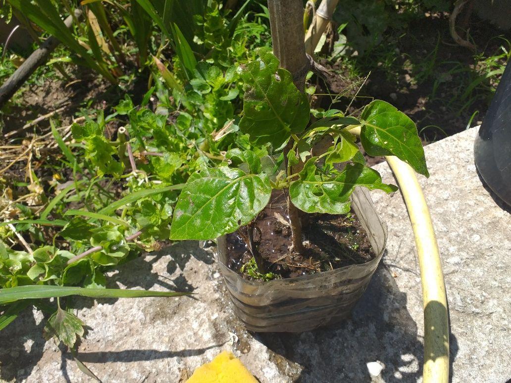 Árvore  tamarilo vermelhos  tomates brasileiros