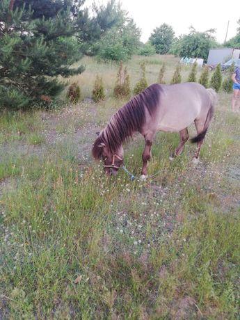 Kucyk mały  Koń Konik