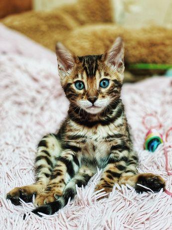 Котята бенгальской породы ( продажа)