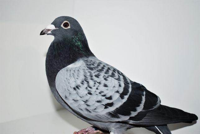 Gołębie pocztowe
