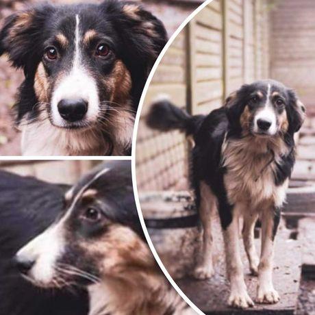 Пес Норд, большой, 1,5 года, красивая собака, кастрирован