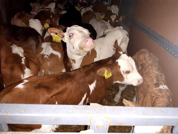 Luboszewy byczki miesne