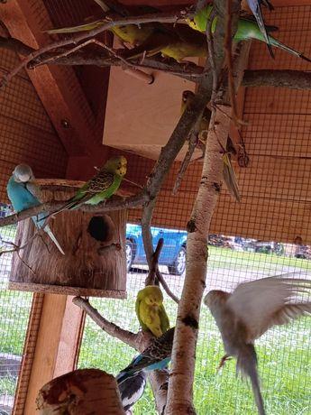 Sprzedam Papugi faliste mlodzierz