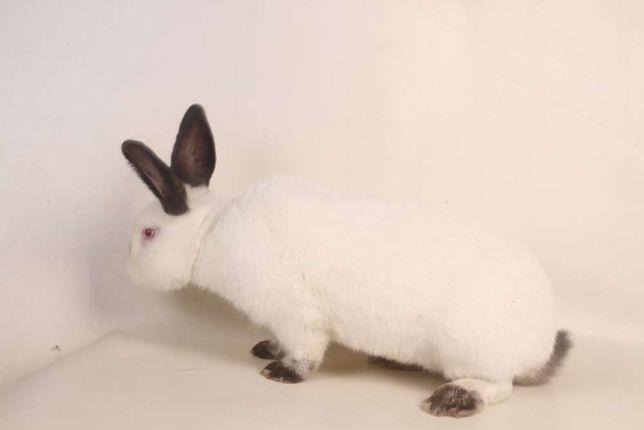 Króliki kalifornijski królik na wiosnę dla każdego Leszno Łódż