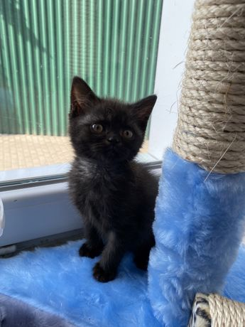 Шотландский котик черного окраса