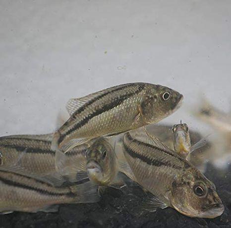 pyszczak Aristochromis christyi