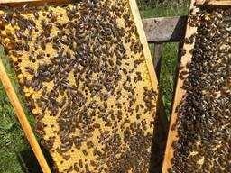 Продам пчелопакеты украинская степная