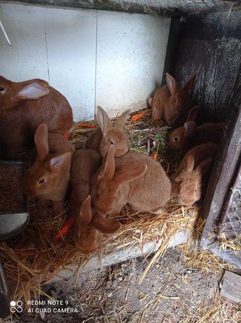Sprzedam króliki nowozelandzkie