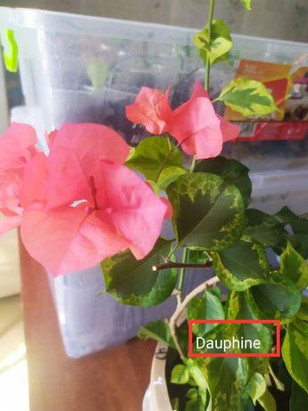 Продам хорошо укоренные черенки бугенвиллии Dauphine