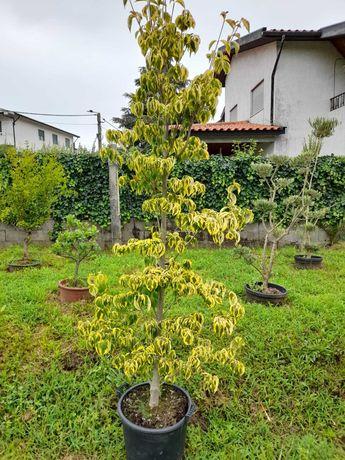 CAMPANHA 2021/2022 - Acer / Árvores / Plantas / Jardim