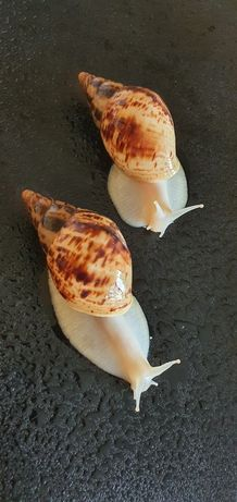 50 гривен Ахатина Ретикулята альбино черноголовые, Улитки,равлики