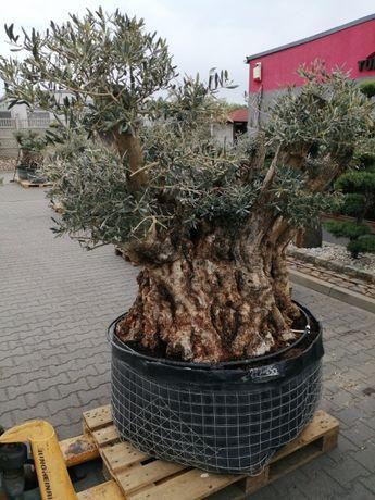 Drzewo Oliwne Bonsai - Olea Europea Bonsai 200cm - nr 50